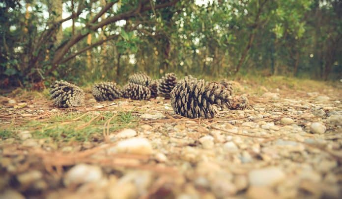 Some pine needles on rocks
