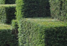 Some hedges that have thick branches that might be difficult to cut.