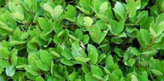 Some laurel leaves