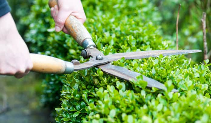 A man pruning some hedges with pruning shears