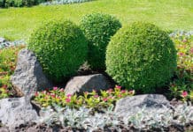 Some fine round trimmed bushes in a rock garden
