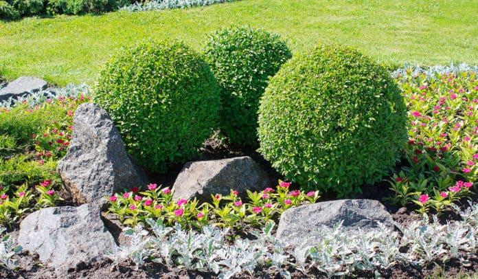 Some fine round trimmed bushes in a rock garden