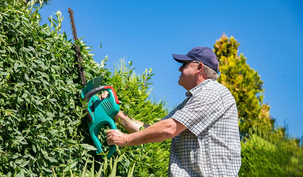 Electric hedge trimmer in use.