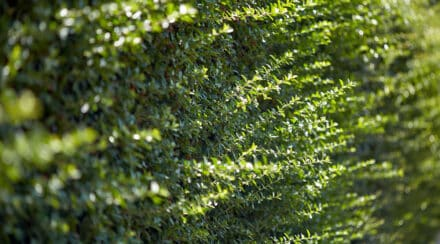 Are Hedge Trimmers Bad for Plants? – Common Mistakes Explained
